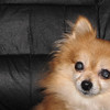This is Daisy, our own little DoodleBug!  She's a rescued Pom and just tolerates Kasey who returns the favor.